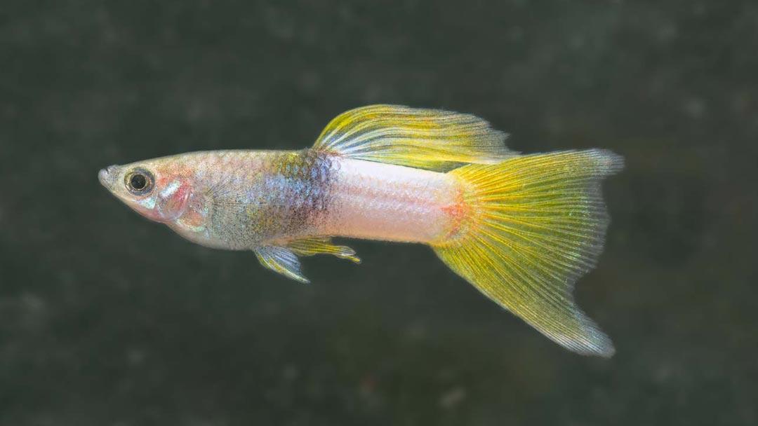 Guppy-Männchen-Pingu-Poecilia-reticulata