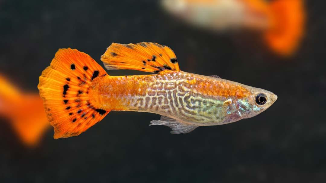 Guppy-Maennchen-Cobra-Rot-Poecilia-reticulata
