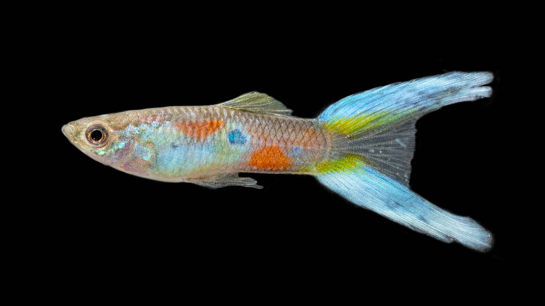 Guppy-Maennchen-Doppelschwert-Blau-Poecilia-reticulata-3