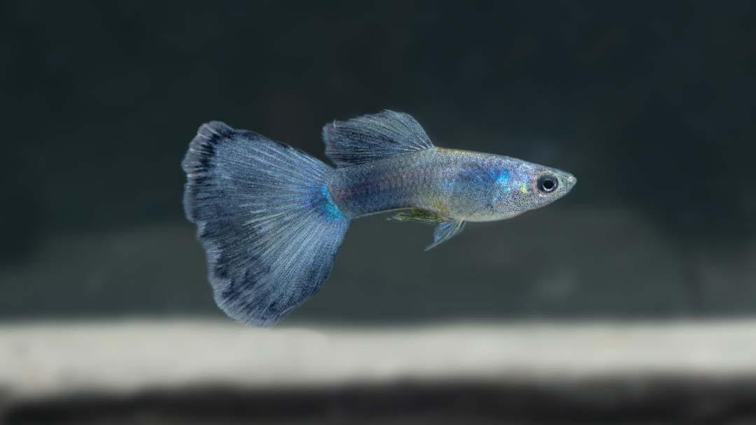 Guppy-Maennchen-Moskau-Blau-Poecilia-reticulata