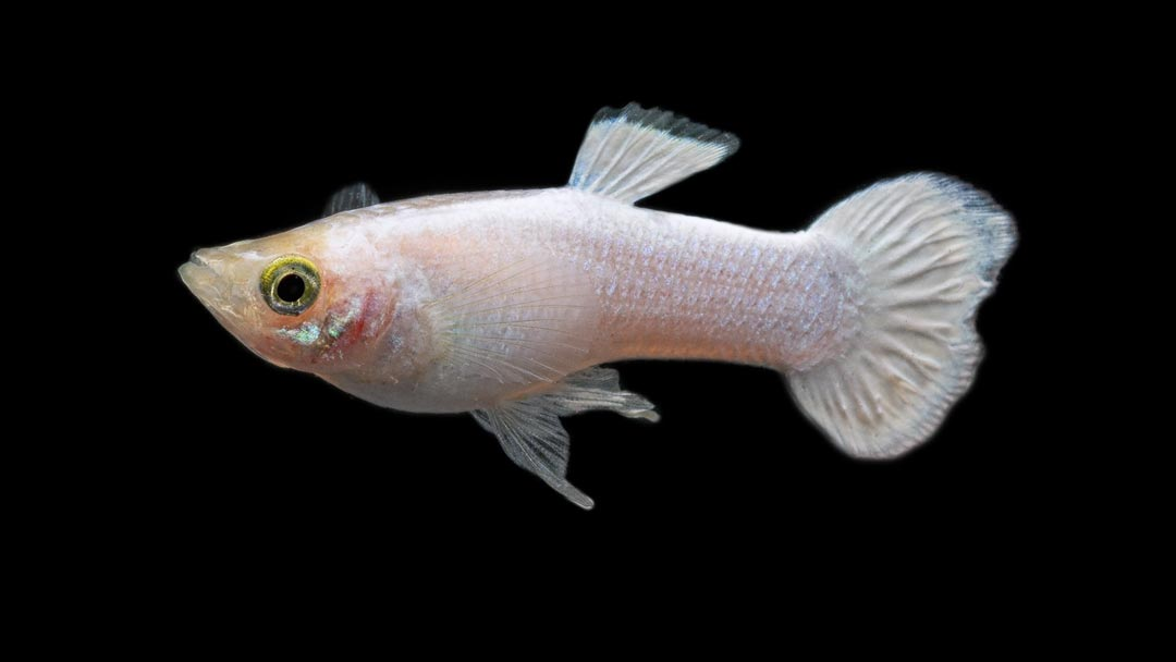 Guppy-Maennchen-Platinum-White-Poecilia-reticulata