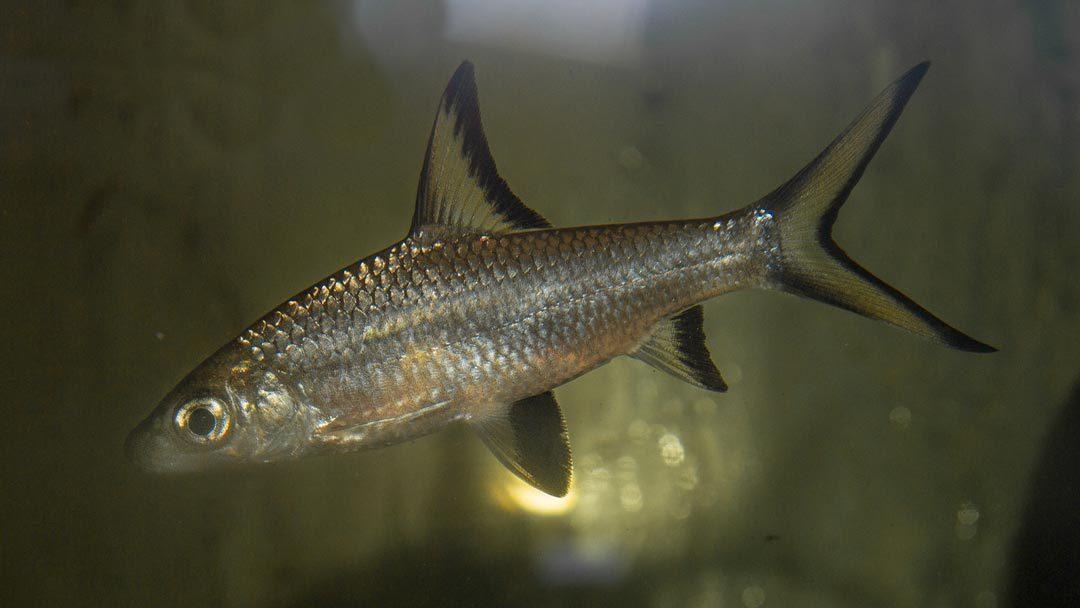 Haibarbe – Balantiocheilus melanopterus
