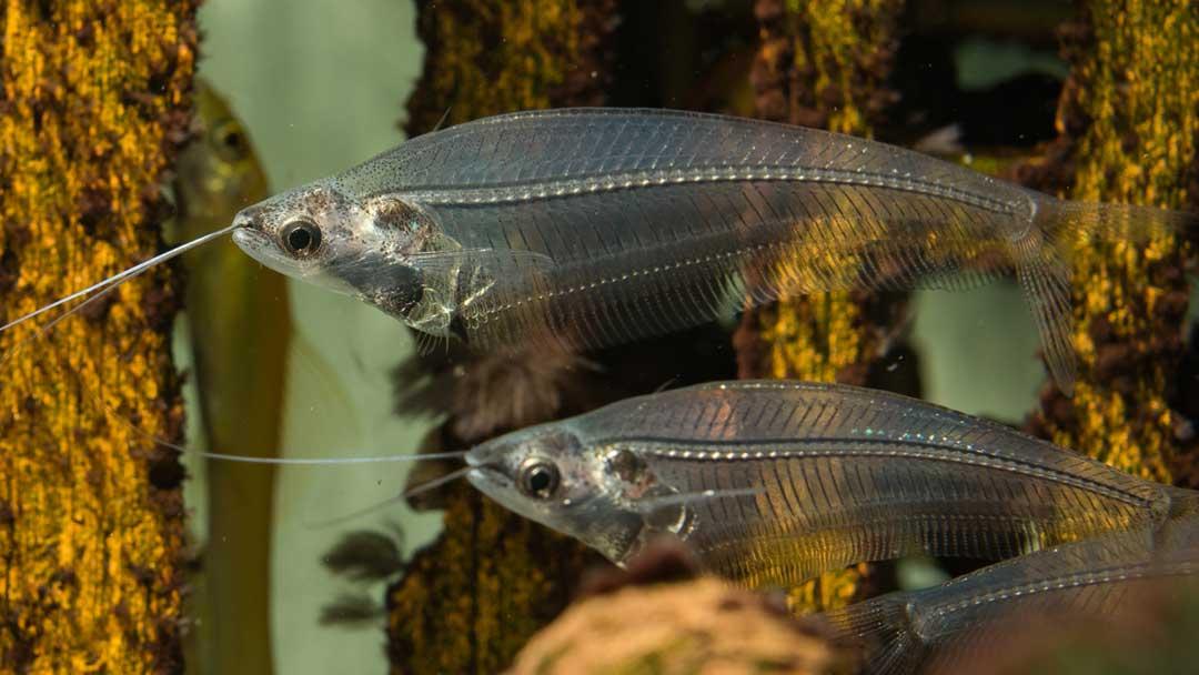 Indischer-Glaswels–Kryptopterus-bicirrhis
