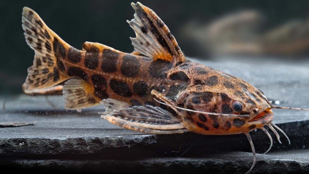 Jaguarwels-Liosomadoras-oncinus