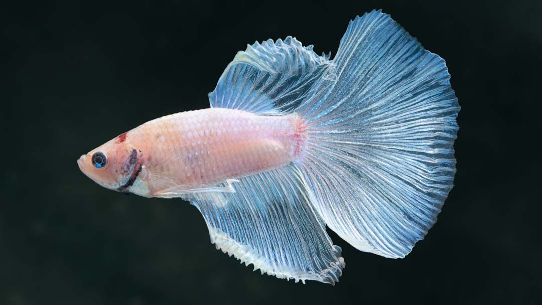 Kampffisch Männchen Halfmoon - Betta splendens