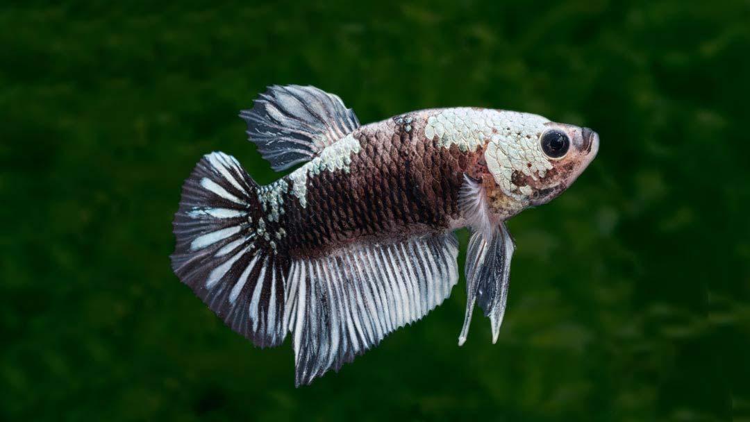 Kampffisch Männchen Black Samurai - Betta splendens