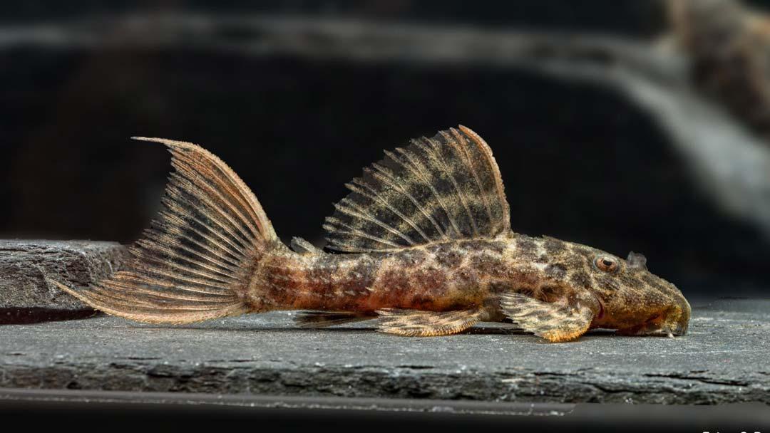 L-114-Demini-Leopardkaktuswels-Pseudacanthicus-sp