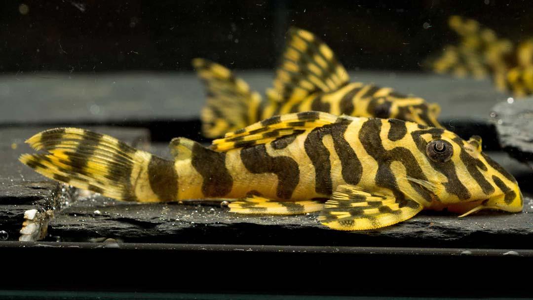 L134-Peckoltia-compta-Goldtigerharnischwels