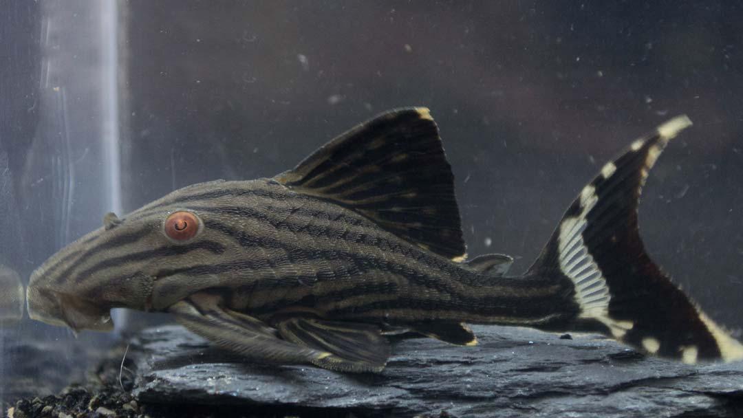 L190-schwarzlinien-harnischwels-panaque-cf-nigrolineatus-b