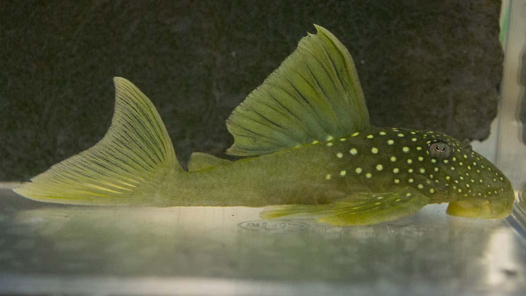 L200-goldgruener-saugwels-hifin-baryancistrus-demantoides