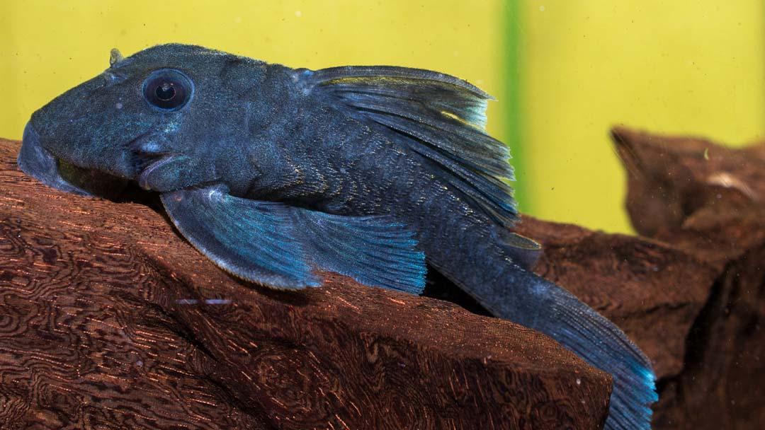 L239-blauer-zwergharnischwels-ancistrini-beggini
