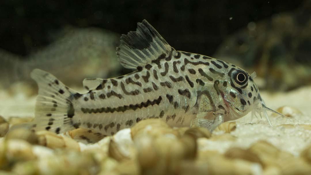 Leopard-Panzerwels–Corydoras-julii