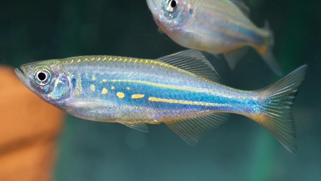 Malabarkaerpfling-Danio-aequipinnatus