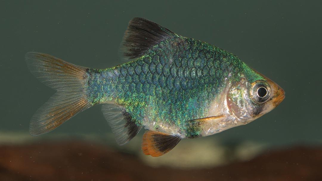 Moosgruene-Sumatrabarbe-Barbus-tetrazona