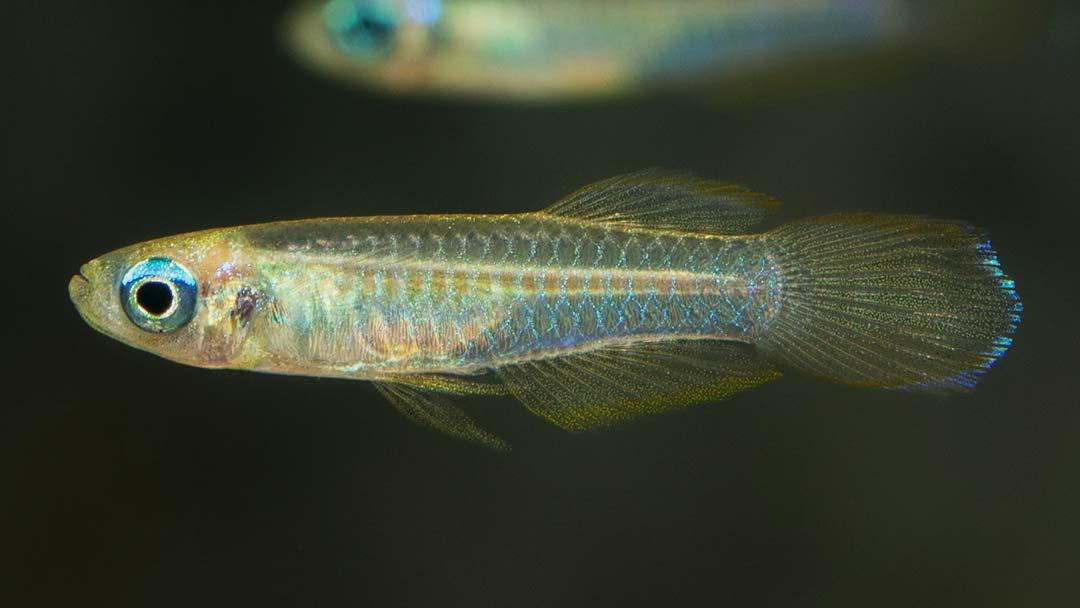 Normans-Leuchtaugenfisch-Aploheilichthys-normani