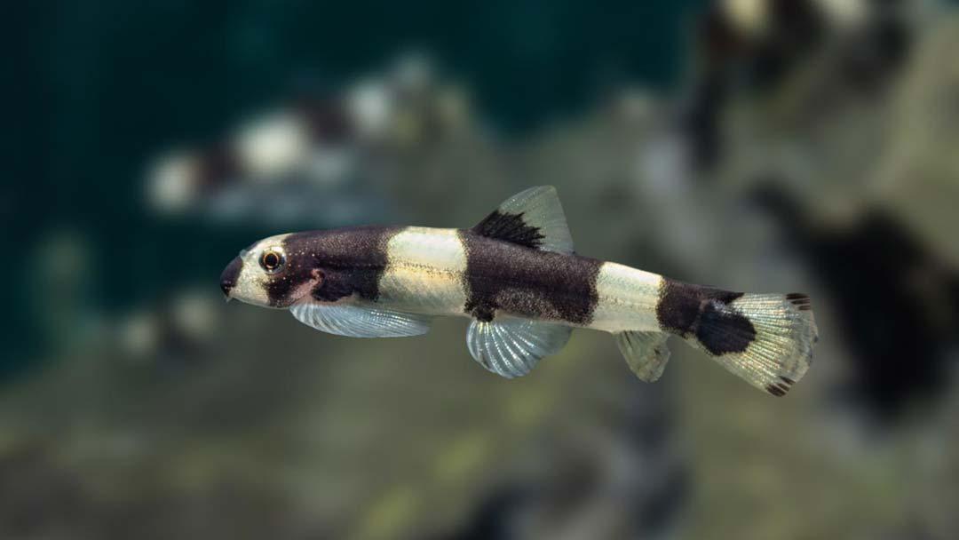 Pandaschmerle - Yaoshania pachychilus