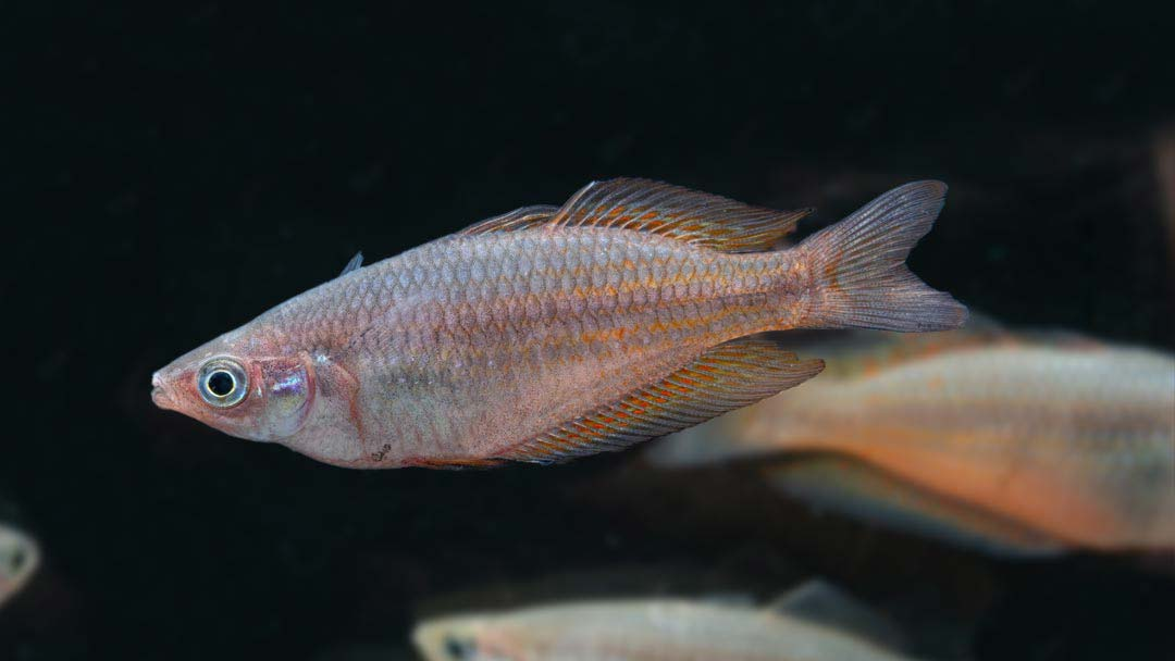 Parkinsons Regenbogenfisch - Melanotaenia parkinsoni