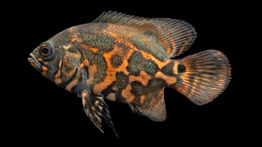 Pfauenaugenbuntbarsch-Red-Tiger-Astronotus-ocellatus
