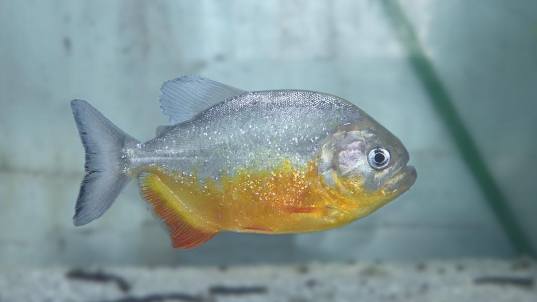 Piraya - King Emperor Piranha - Pygocentrus piraya