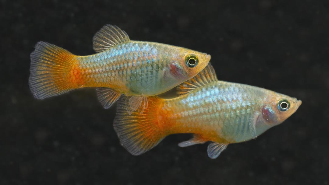 Platy Blau - Xiphophorus maculatus