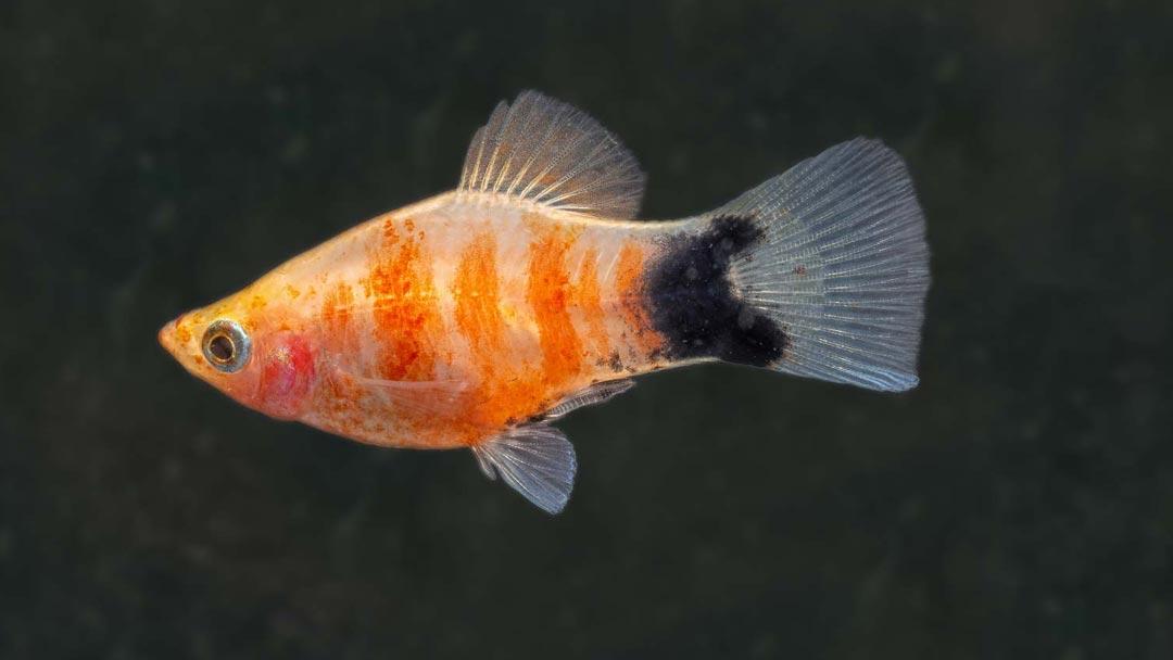 Platy-Blutendes-Herz-Xiphophorus-maculatus