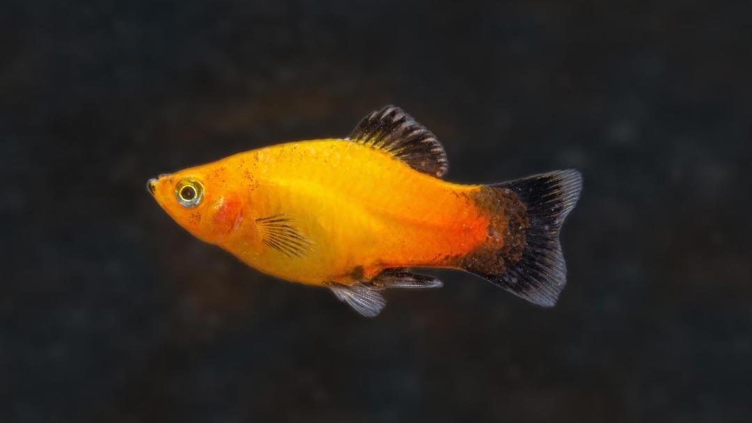 Platy-Deutschland-Xiphophorus-maculatus