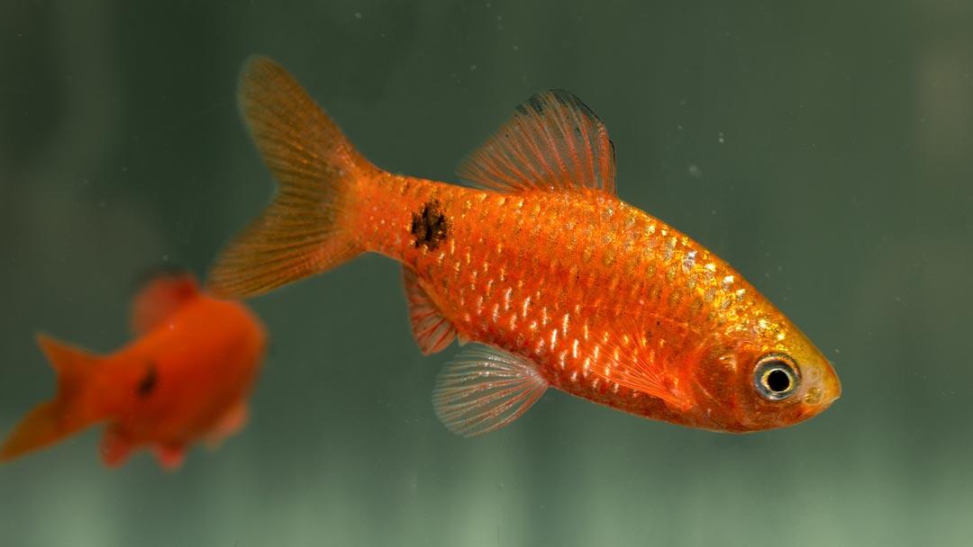 Prachtbarbe-Blutrot-Barbus-conchonius