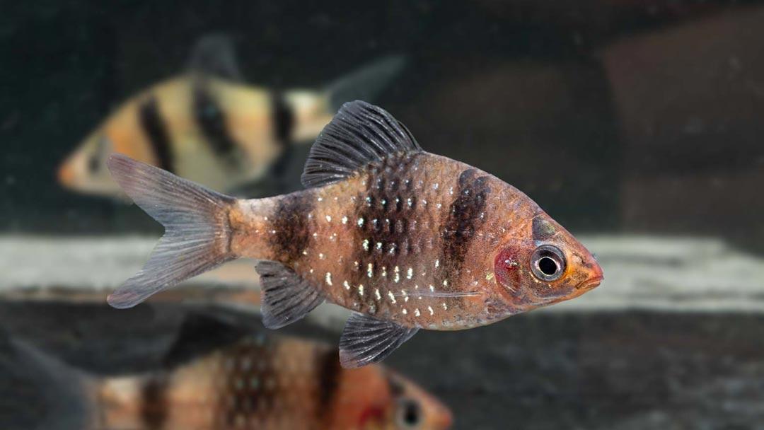 Purpurkopfbarbe-Pethia-nigrofasciata
