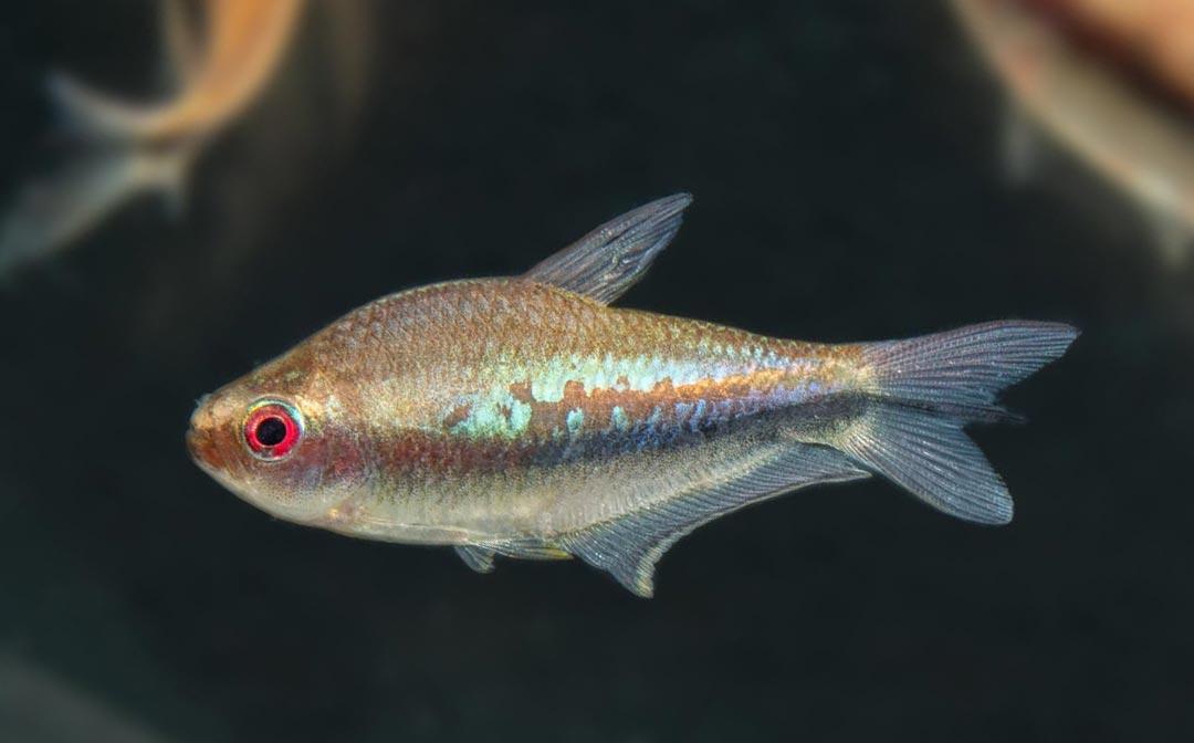 Regenbogentetra – Nematobrycon lacortei