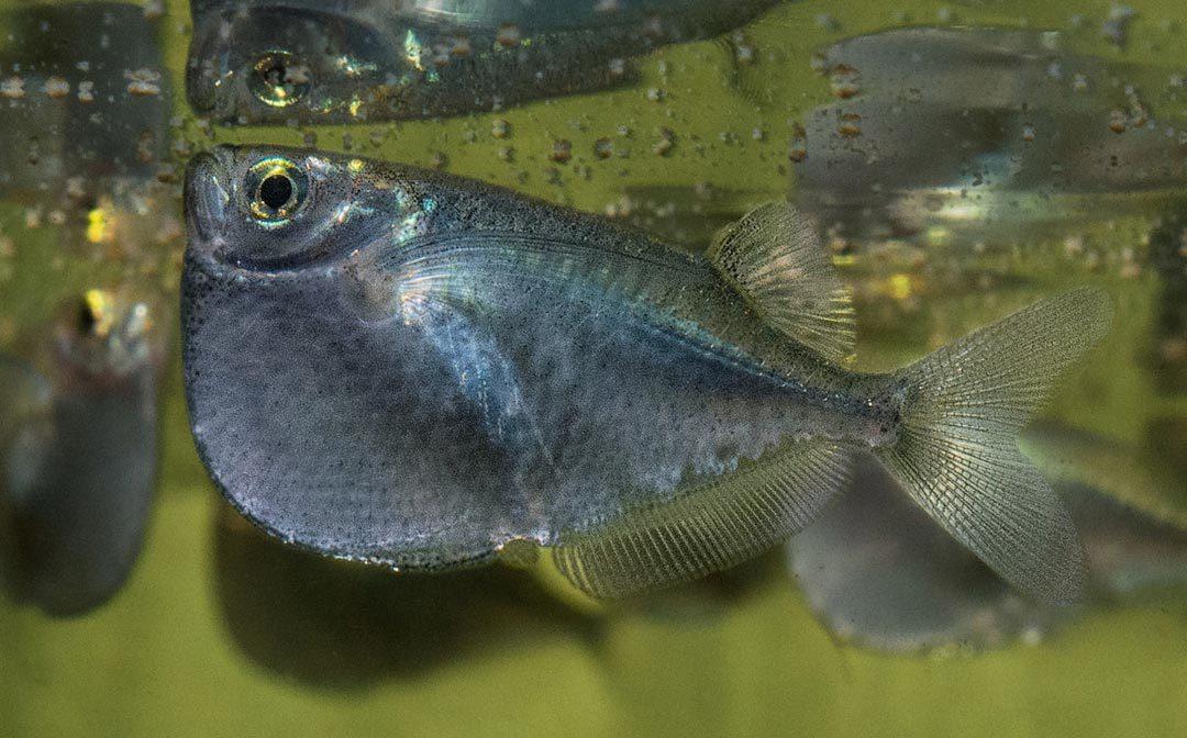 Riesenbeilbauchfisch - Thoracocharax stellatus