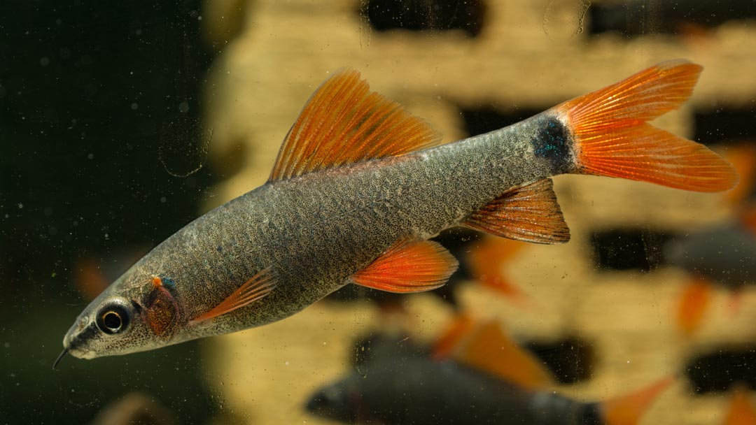 Rotflossen-Fransenlipper-Epalzeorhynchus-frenatus