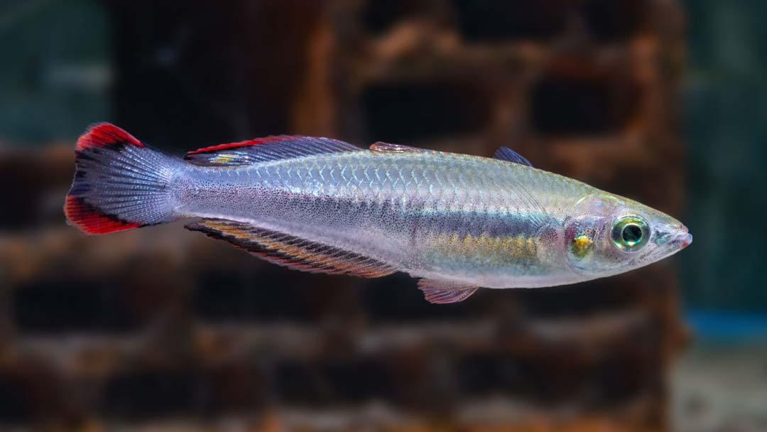 Rotschwanz Ährenfisch - Bedotia geayi