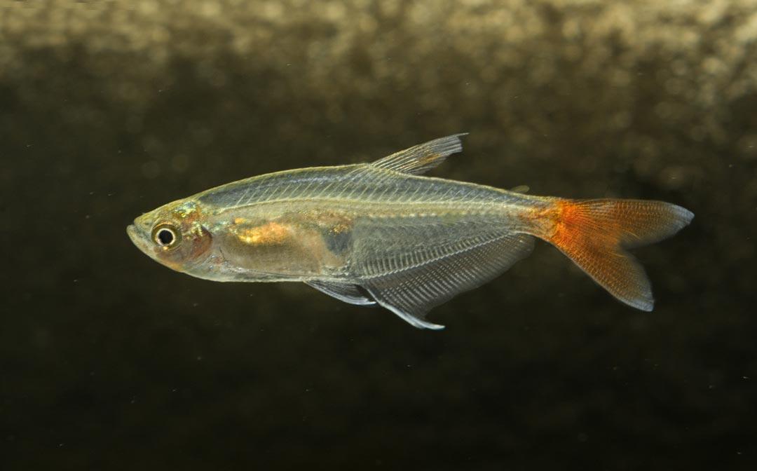 Rotschwanz Glassalmler - Prionobrama filigera
