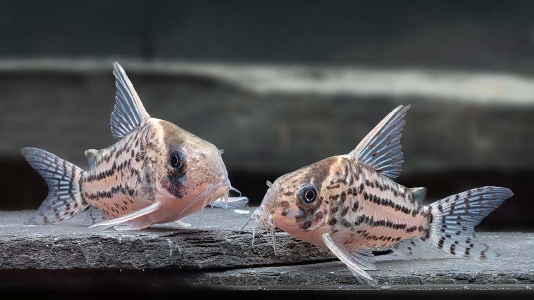 Schwartz´-Panzerwels-Corydoras-schwartzi