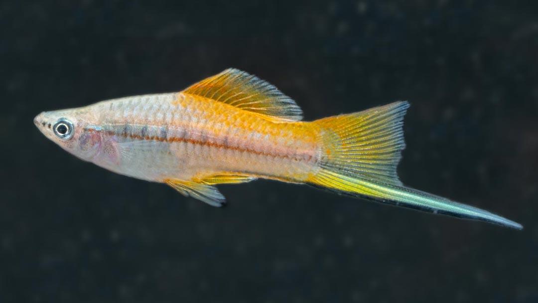 Schwertträger-Ananas-Xiphophorus-helleri