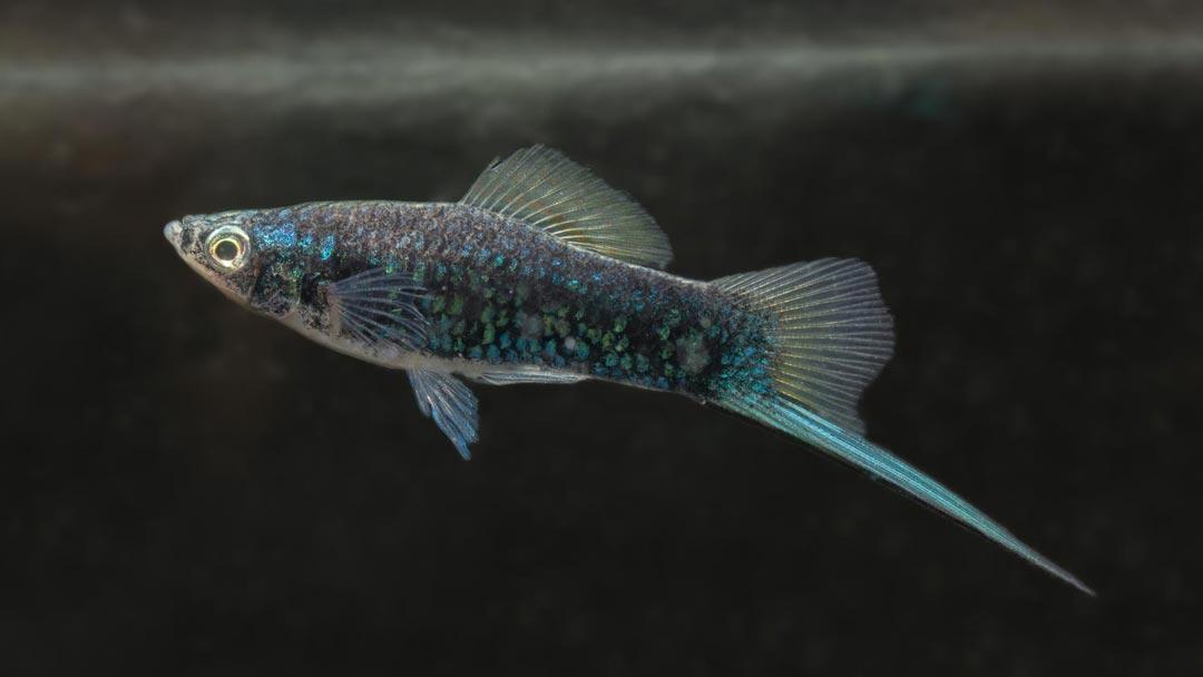 Schwertträger-Schwarz-Xiphophorus-helleri