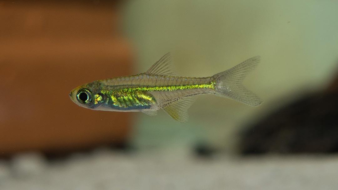 Smaragd-Zwergrasbora-Microdevario-kubotai