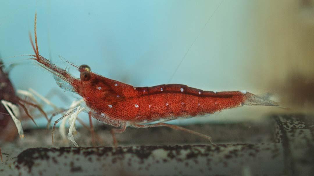 Sulawesi-Kardinalsgarnele-Caridina-dennerlei