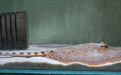 Tiger Stechrochen – Potamotrygon tigrina