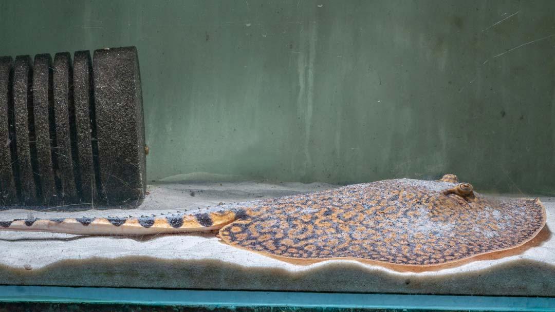 Tiger-Stechrochen-Potamotrygon-tigrina