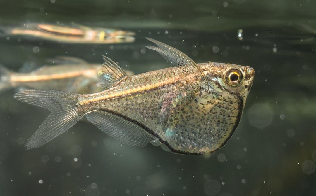 Zwerg-Glasbeilbauchfisch