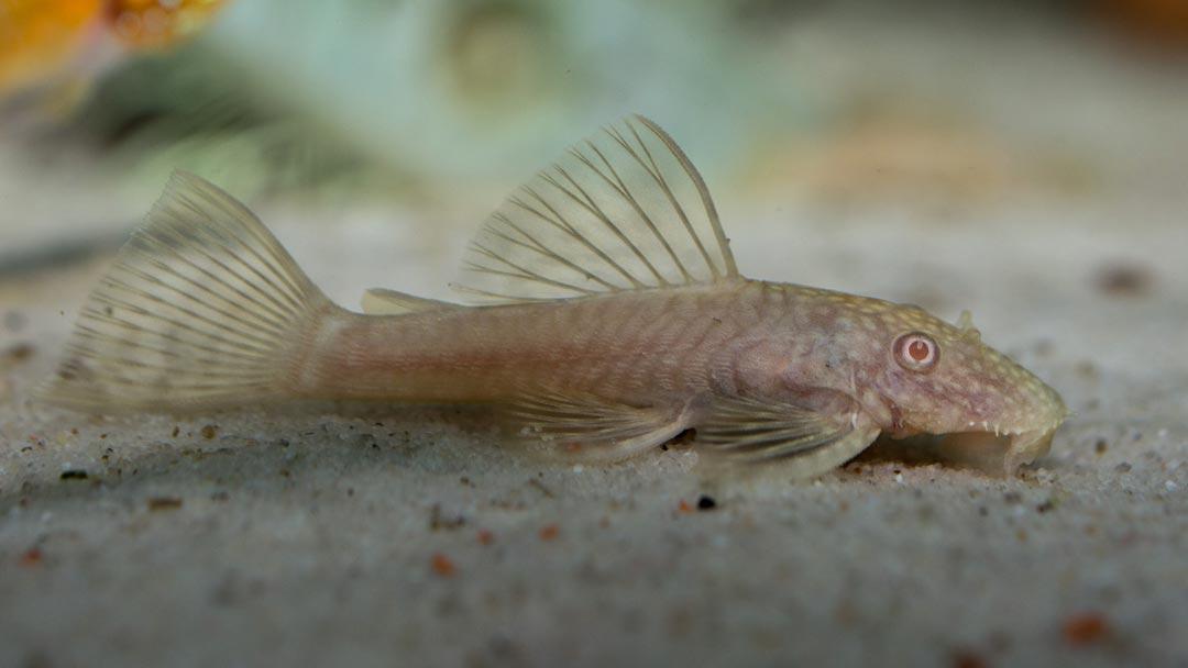 albino-antennenwels-ancistrus-dolichopterus