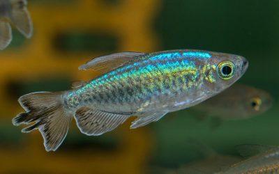 Blauer Kongosalmler – Phenacogrammus interruptus