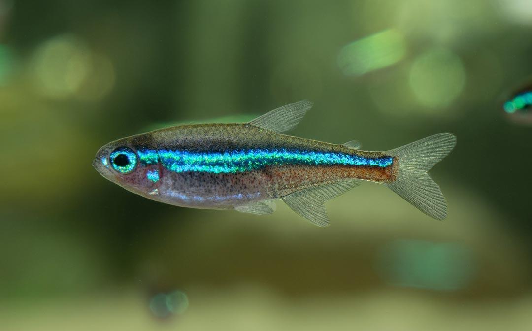 Blauer Neonsalmler - Paracheirodon simulans