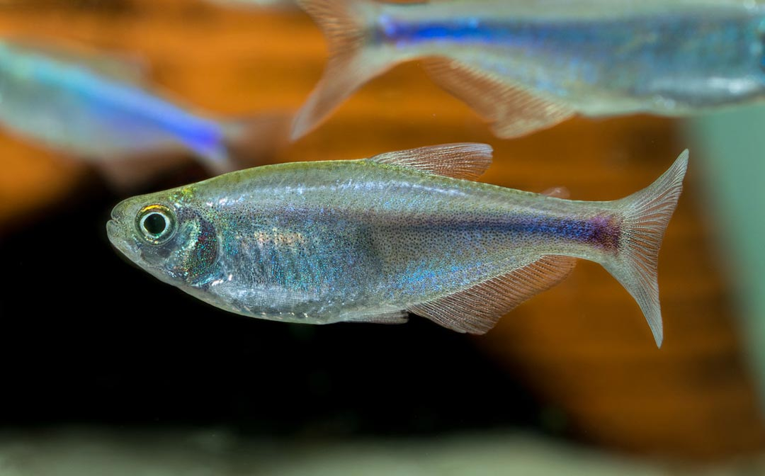 Blauer Perusalmler – Knodus borki