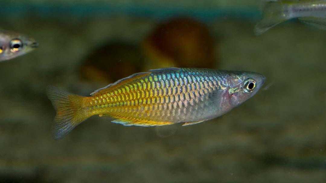 boesemans-regenbogenfisch-melanotaenia-boesemani