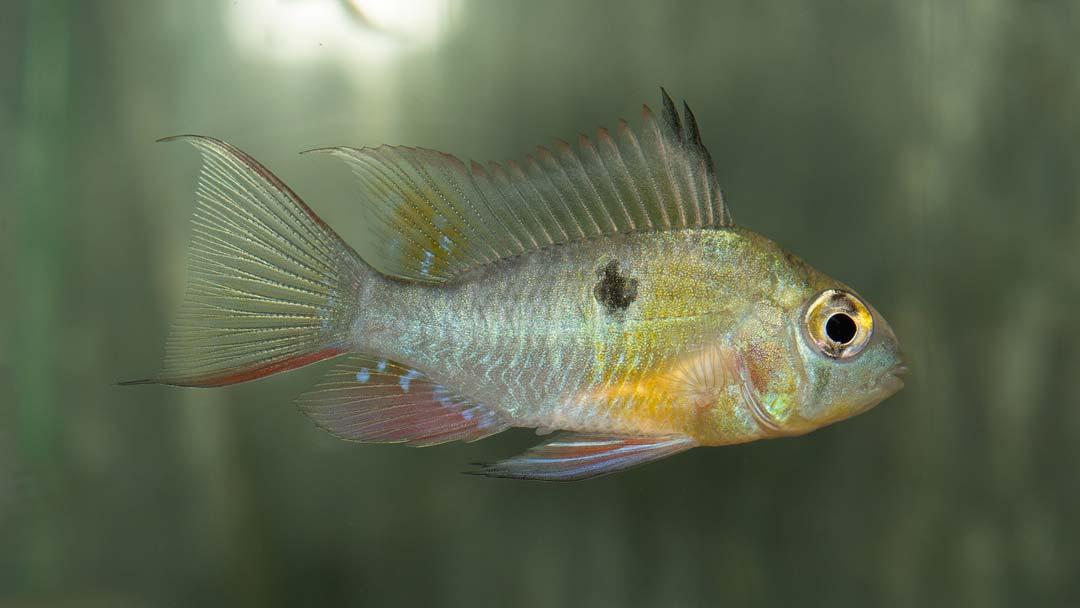 bolivianischer-schmetterlingsbuntbarsch-mikrogeophagus-altispinosa-1