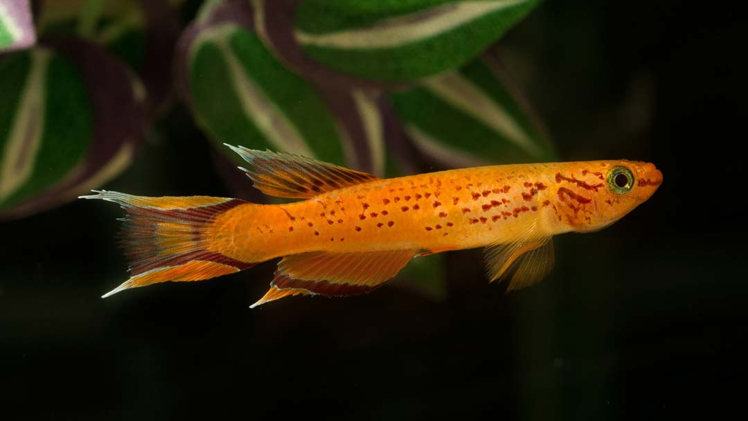 bunter-prachtkaerpfling-gold-kap-lopez-aphyosemion-australe-gold