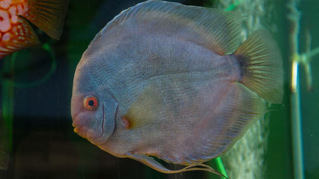 diskus-blue-diamant-symphysodon-aequifasciatus-spec