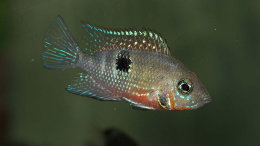 feuermaulbuntbarsch-thorichthys-meeki